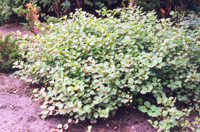 Compact Japanese Fleeceflower (Fallopia japonica 'Compacta') at Jared's Nursery, Gift and