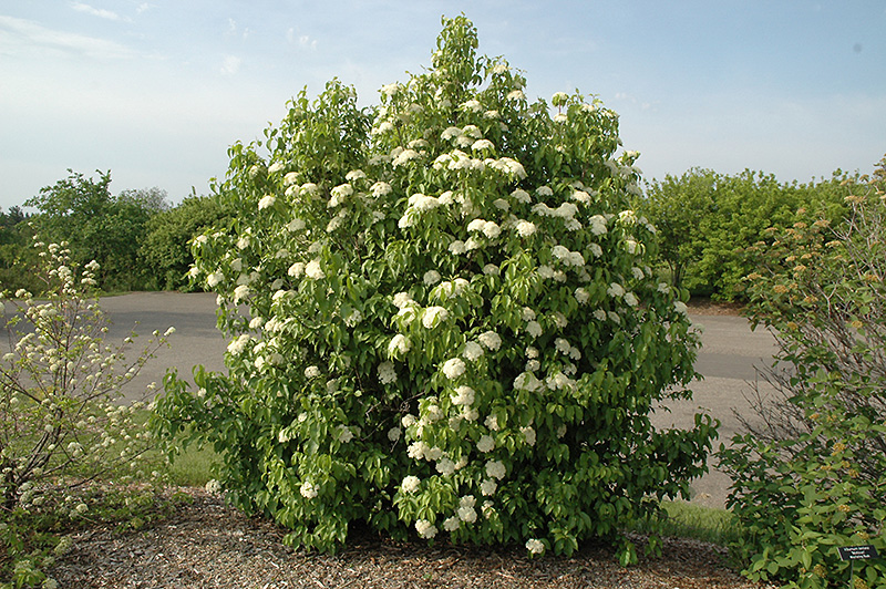 Nannyberry Viburnum Lentago At Jared S Nursery Gift And Garden
