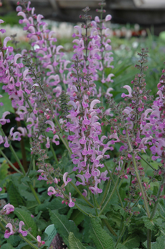 pink delight sage salvia pratensis pink delight in