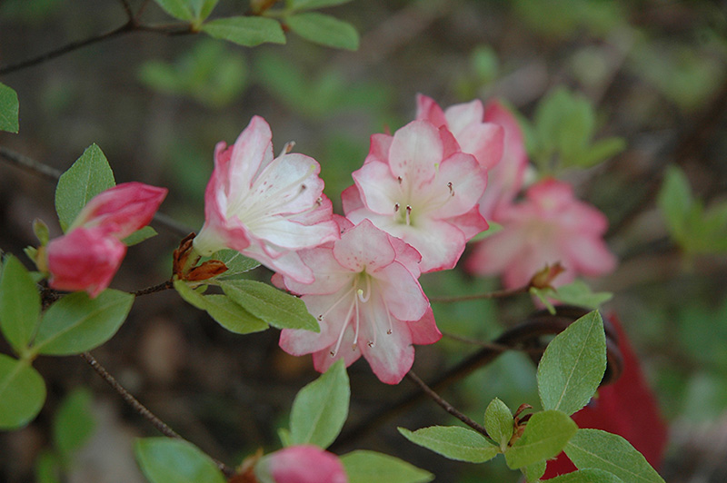 Le Blossom Azalea Rhododendron At Jared S Nursery Gift And