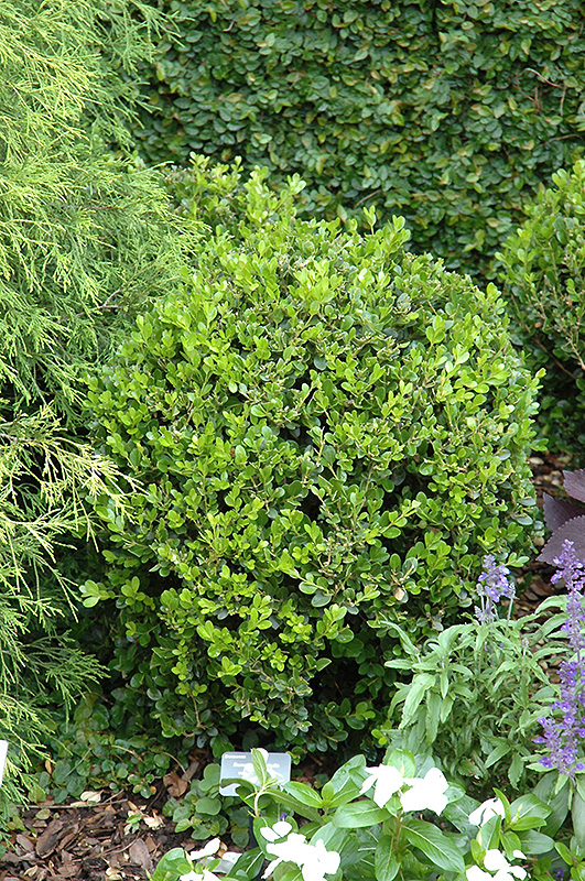 Winter Gem Boxwood (Buxus microphylla \'Winter Gem\') in Littleton ...