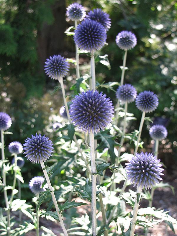 Good Veitchu0027s Blue Globe Thistle (Echinops Ritro U0027Veitchu0027s Blueu0027) At Jaredu0027s  Nursery,