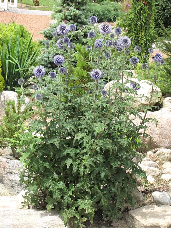 Veitchu0027s Blue Globe Thistle (Echinops Ritro U0027Veitchu0027s Blueu0027) At Jaredu0027s  Nursery,