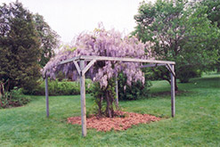 Aunt Dee Wisteria (Wisteria macrostachya 'Aunt Dee') at Jared's Nursery, Gift and Garden