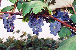 Concord Grape (Vitis 'Concord') at Jared's Nursery, Gift and Garden
