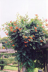 Trumpetvine (Campsis radicans) at Jared's Nursery, Gift and Garden