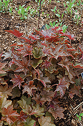 Palace Purple Coral Bells (Heuchera micrantha 'Palace Purple') at Jared's Nursery, Gift and Garden