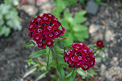 Sweet William (Dianthus barbatus) at Jared's Nursery, Gift and Garden