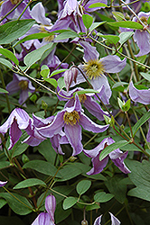Blue Boy Clematis (Clematis 'Blue Boy') at Jared's Nursery, Gift and Garden