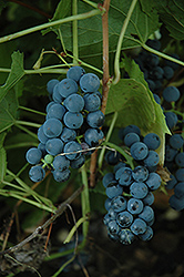 Valiant Grape (Vitis 'Valiant') at Jared's Nursery, Gift and Garden