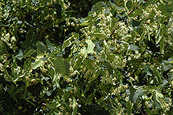 Greenspire Linden (Tilia cordata 'Greenspire') at Jared's Nursery, Gift and Garden