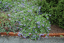 Blue Mist Caryopteris (Caryopteris x clandonensis 'Blue Mist') at Jared's Nursery, Gift and Garden