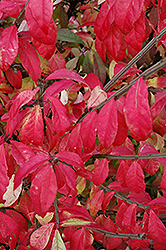 Fire Ball® Burning Bush (Euonymus alatus 'Select') at Jared's Nursery, Gift and Garden
