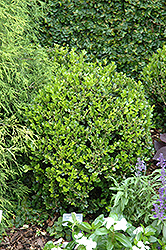 Winter Gem Boxwood (Buxus microphylla 'Winter Gem') at Jared's Nursery, Gift and Garden