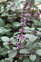 African Blue Basil (Ocimum 'African Blue') at Jared's Nursery, Gift and Garden