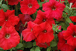 Easy Wave Red Petunia (Petunia 'Easy Wave Red') at Jared's Nursery, Gift and Garden