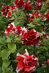 Madness Red And White Double Petunia (Petunia 'Madness Red And White Double') at Jared's Nursery, Gift and Garden