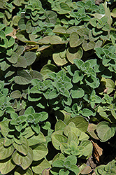 Hot And Spicy Oregano (Origanum 'Hot And Spicy') at Jared's Nursery, Gift and Garden