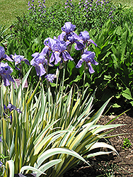 Golden Variegated Sweet Iris (Iris pallida 'Aureovariegata') at Jared's Nursery, Gift and Garden