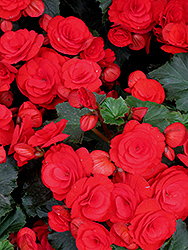 Nonstop® Red Begonia (Begonia 'Nonstop Red') at Jared's Nursery, Gift and Garden