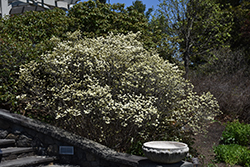 Dwarf Fothergilla (Fothergilla gardenii) at Jared's Nursery, Gift and Garden