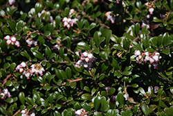 Bearberry (Arctostaphylos uva-ursi) at Jared's Nursery, Gift and Garden