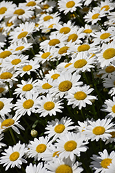 Becky Shasta Daisy (Leucanthemum x superbum 'Becky') at Jared's Nursery, Gift and Garden