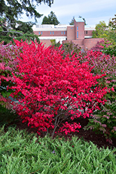 Compact Winged Burning Bush (Euonymus alatus 'Compactus') at Jared's Nursery, Gift and Garden