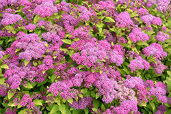 Magic Carpet Spirea (Spiraea x bumalda 'Magic Carpet') at Jared's Nursery, Gift and Garden