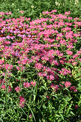 Coral Reef Beebalm (Monarda didyma 'Coral Reef') at Jared's Nursery, Gift and Garden